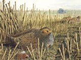 Grey Partridge (Perdix perdix) BD001