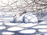 Mountain Hare (Lepus timidus) M001