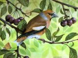 Hawfinch (Coccothraustes coccothraustes) BD001