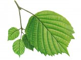 Hazel Leaves (Corylus avellana) B002
