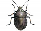 Heather shieldbug (Rhacognathus punctatus) IN001