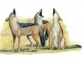Jackal (Black-backed) Canis mesomelas M001