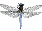 Keeled Skimmer (Orthetrum coerulescens) IN001
