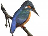 Kingfisher (Alcedo atthis) BD0358