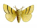 Lackey Moth (Malacosoma neustria) IN001