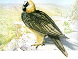 Lammergeyer or Bearded Vulture (Gypaetus barbatus) BD001