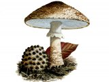 Lepiota aspera (Freckled Dapperling) FU001