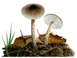 Lepiota grangei (Green Dapperling) FU032