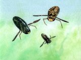 Lesser Water Boatmen (Corixa and Cymatia) IN001