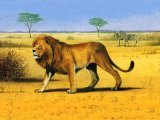 Lion, Panthera leo, Lion (Panthera leo) M004