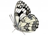Marbled White (Melanargia galathea) IN002