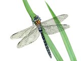Dragonfly (Migrant Hawker) Aeshna mixta IN002