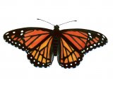 Viceroy Butterfly (Limenitis archippus) IN001