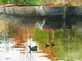 Moorhens on Manchester Canal BD003