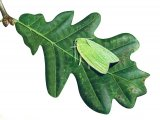 Oak Leaf Roller Moth (Tortrix viridana) IN001