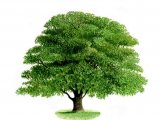 Oak Tree (Quercus robur) B002