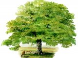 Oak tree (Quercus robur) B004