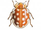 Orange Ladybird (Halyzia 16-guttata) IN001