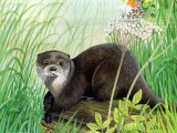 Otter (Lutra lutra) M006