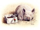 Pig (domestic) Sus scrofa domestica - Limited Edition Print M001