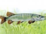 F065 - Pike (Esox lucius)