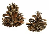 Pine Cones opened by Crossbill B003