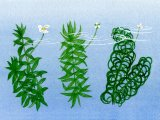Pondweeds - left to right: Elodea canadenis, E. nuttalli & Lagarosiphon major B001