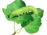 Poplar Hawk Moth Caterpillar (Laothoe populi) IN001