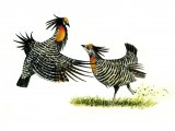 Prairie Chicken (Greater) Tympanuchus cupido B001
