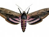 Privet Hawh Moth (Sphinx ligustri) IN002