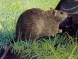 Rat (Brown) Rattus norvegicus M002