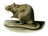 Rat (Brown) Rattus norvegicus M004