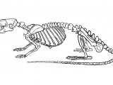Rat Skeleton (Brown) Rattus norvegicus M001