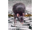 Rat (Black) Rattus rattus M001
