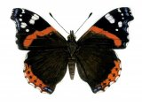 Red Admiral (Vanessa atlanta) IN001