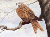 Red Kite (Milvus milvus) BD003