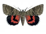 Red Underwing (Catocala nupta) IN001