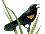 Red-winged Blackbird (Agelaius phoeniceus) BD001