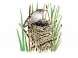 Warbler (Reed) Acrocephalus scirpaceus BD003