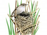 Reed Warbler (Acrocephalus scirpaceus) BD0411