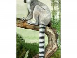 Ring-tailed Lemur (Lemur catta) M003