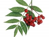Rowan Berries (Sorbus aucuparia) B003