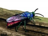 IH104 - Ruby-tailed Wasp (Chrysis ignita)