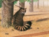 Scottish Wildcat (Felis silvestris) M001