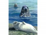 Seal (Grey) Halichoerus grypus M001