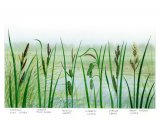 Sedges Greater pond, Lesser Pond, Bottle, Cyperus, Water and Greater Tussock B001