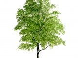 Silver Birch Tree (Betula pendula) BT069
