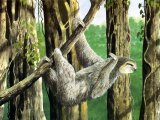 Sloth (Pale-throated Three-toed) Bradypus tridactylus M001