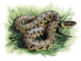 RS211 - Grass Snake ( Natrix natrix)