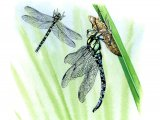 Dragonfly (Southern Hawker) Aeshna cyanea IN002